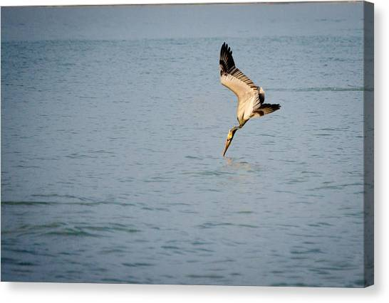 Diving Pelican Canvas Print by Mike Rivera