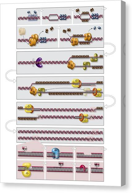 Dna Replication Process Diagram Photograph By Art For Science