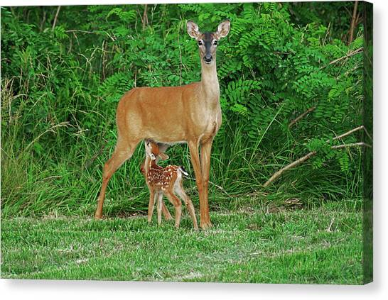 Doe And Nursing Fawn Canvas Print by Fred Kirchhoff
