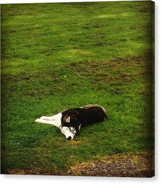 Huskies Canvas Print - #dog #husky #pet #grass #green #lazy by Robert Puttman