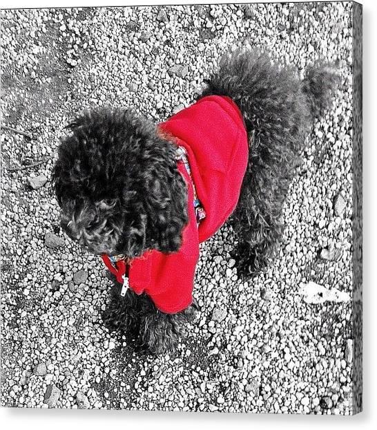 Poodles Canvas Print - #dog #puppy #photowall #picoftheday by Elizabeth Maldonado