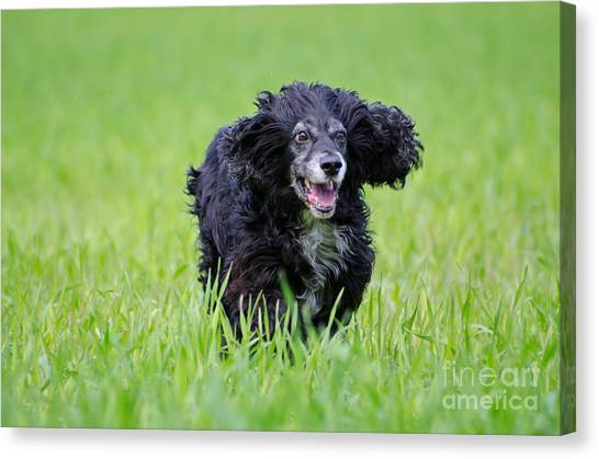 Dog Running On The Green Field Canvas Print