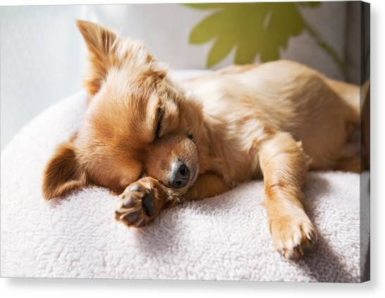Dog Sleeping On Cushion Canvas Print