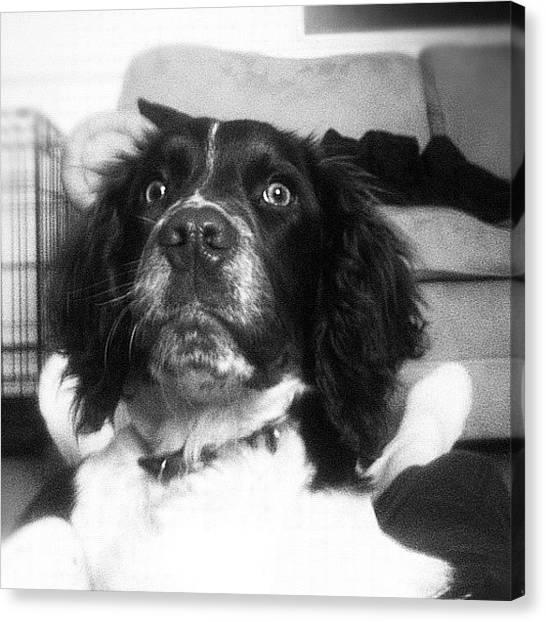 Hunting Canvas Print - #dog #springer #springerspaniel #happy by John Griffin