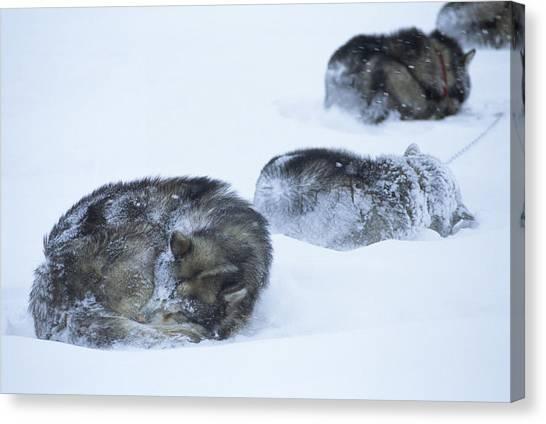 Sleds Canvas Print - Dogs Sleep In Blizzard On Frozen Ocean by Gordon Wiltsie