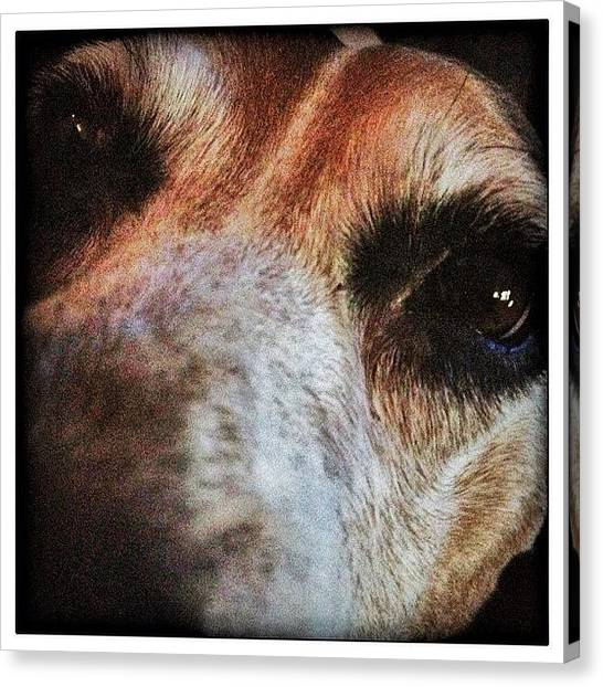 Beagles Canvas Print - #dogsofinstagram  #dogsmindtraining by Woof Glaser