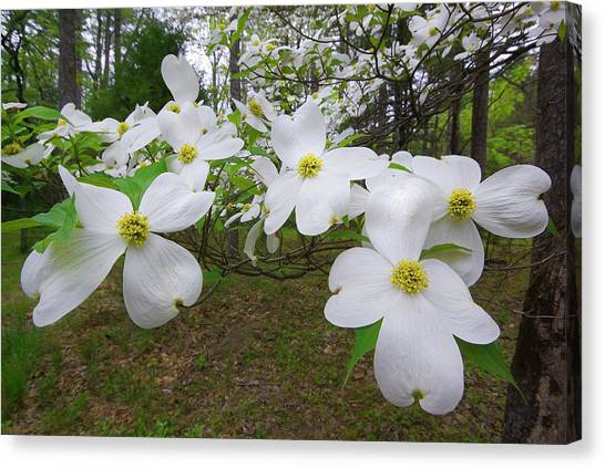 Dogwood Blooms Canvas Print by Tony Gayhart