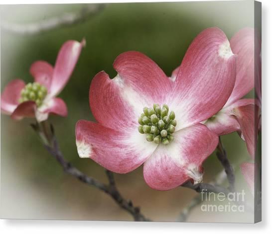 Dogwood Blossom Canvas Print