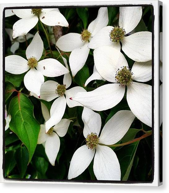 Ants Canvas Print - Dogwood Flowers. #white #flower by Christopher Hughes
