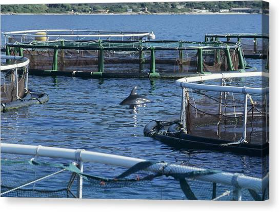 Bottlenose Dolphins Canvas Print - Dolphin Near Fish Pens by Alexis Rosenfeld