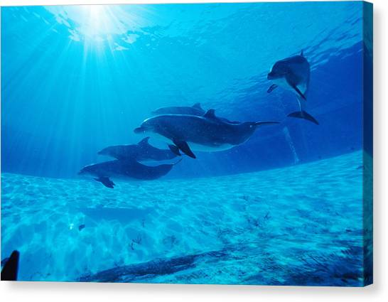 Bottlenose Dolphins Canvas Print - Dolphins In Captivity by Alexis Rosenfeld