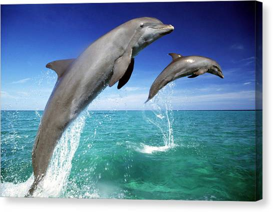 Dolphins, Tursiops Truncatus, Two Leaping Out Of Sea Canvas Print by Mike Hill