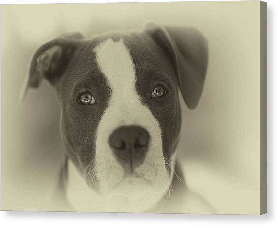 Pit Bull Canvas Print - Don't Hate The Breed by Larry Marshall