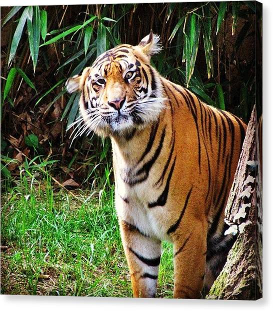 Tigers Canvas Print - Don't Think This Dude Really Wanted by Loren Southard