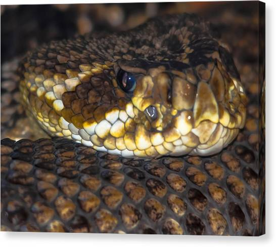 Timber Rattlesnakes Canvas Print - Don't Tread On Me by Brian Stevens