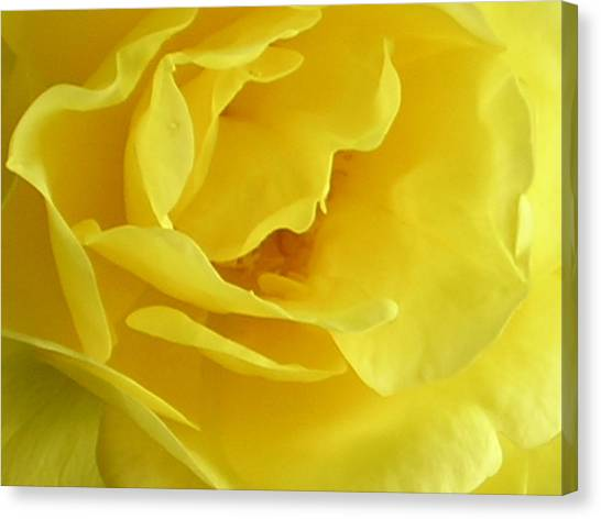 Double Daffodill Canvas Print by Tina Ann Byers