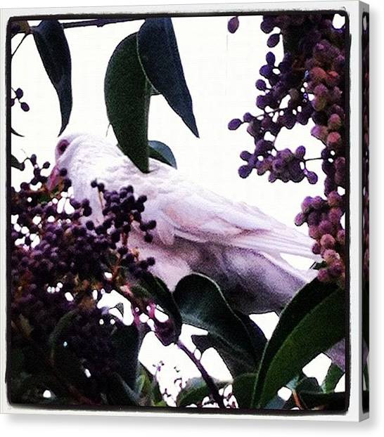 Dove Canvas Print - #dove Of #peace. Did Not Bring Peace To by Nilson Almeida
