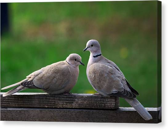 Doves Canvas Print