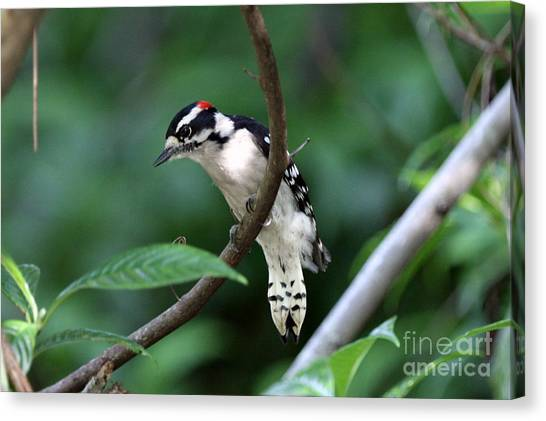Downy Woodpecker Canvas Print