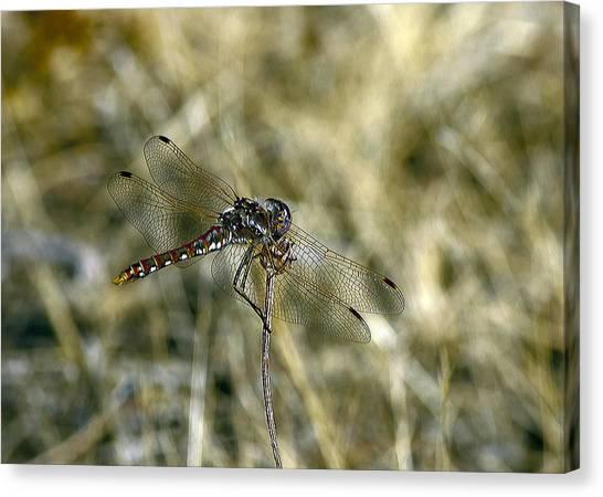 Dragon Fly  Canvas Print by Dorothy Hilde