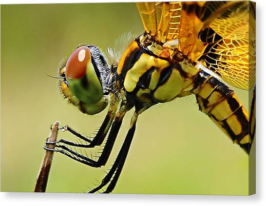 Dragon Fly Canvas Print by Michelle Armstrong