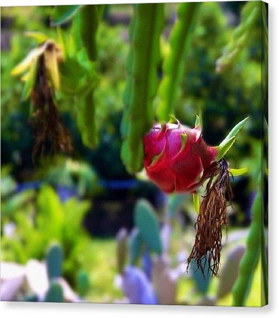 Dragons Canvas Print - #dragon #fruit #tree #plant #instagood by Omar Alzaabi