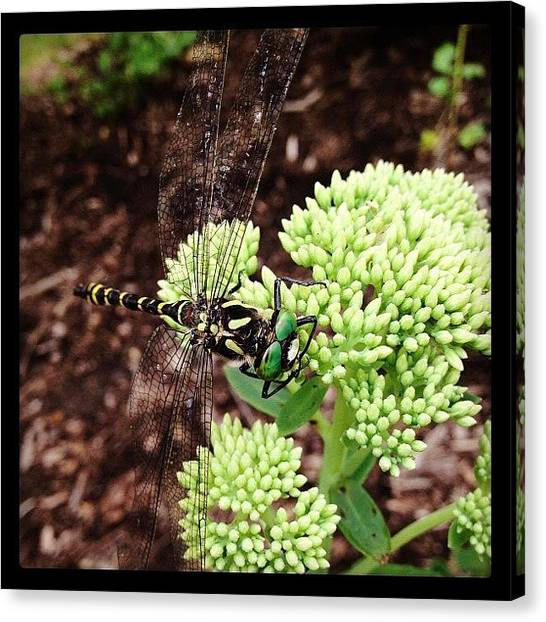 Dragons Canvas Print - #dragonfly #flower #nature #insect #bug by Charles H