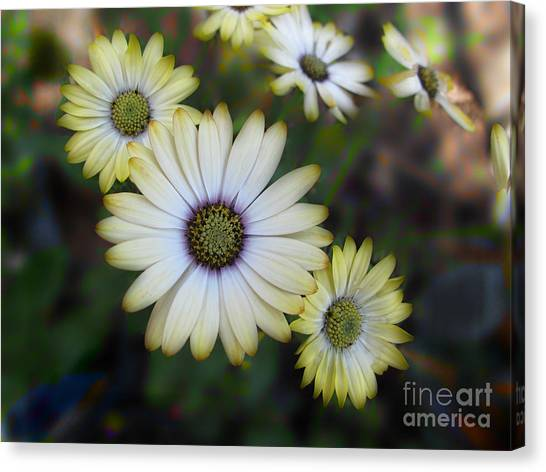Dream Daisy Canvas Print