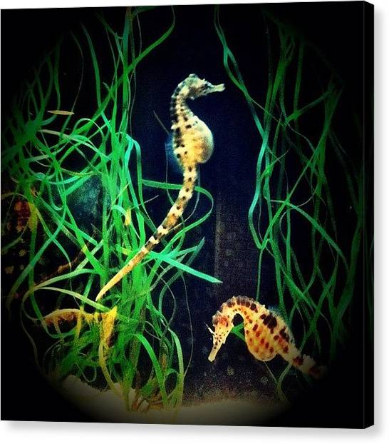 Seahorses Canvas Print - Dreamt About The Seahorses We Saw by Sandra Diamante
