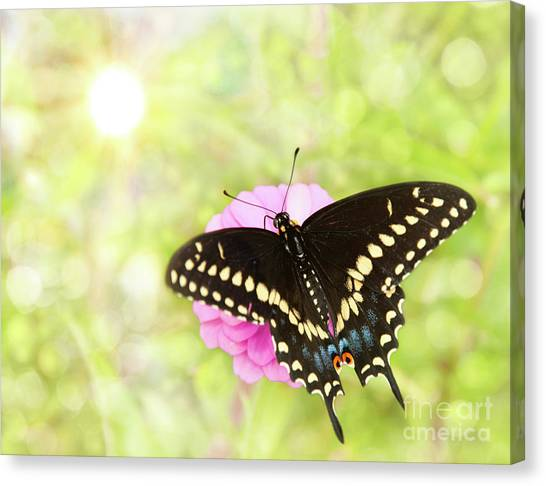 Dreamy Black Swallowtail Butterfly Canvas Print