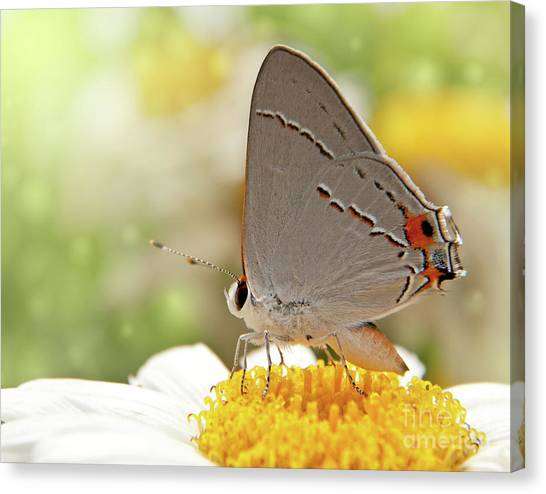 Dreamy Hairstreak Butterfly Canvas Print