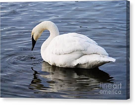 Dribbling Swan Canvas Print