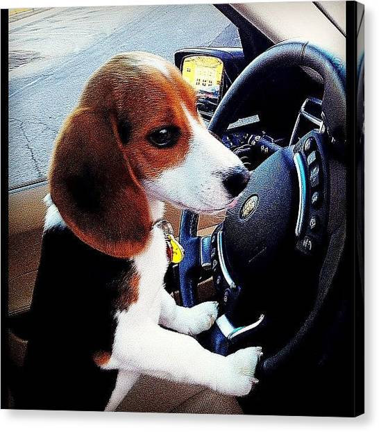 Beagles Canvas Print - Driving Miss Photofashionobsessednyc by PhotoFashion ObsessedNYC
