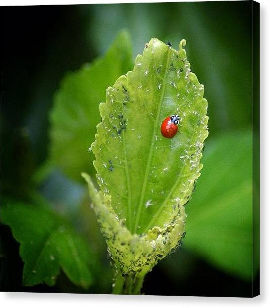 Ladybugs Canvas Print - Dslr Shot, Love Shooting Nature by Loghan Call