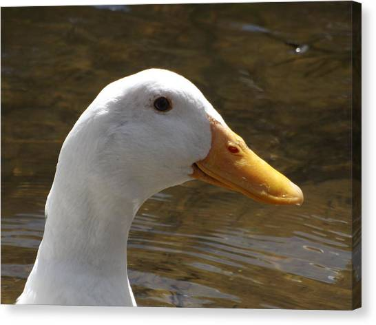 Duck Headshot Canvas Print by Pamela Stanford