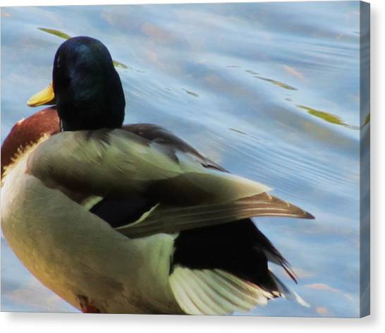 Duck Canvas Print by Todd Sherlock