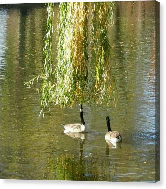 Geese Canvas Print - Ducks In Lagoon Public Garden Boston Ma Usa by Augusto Costa