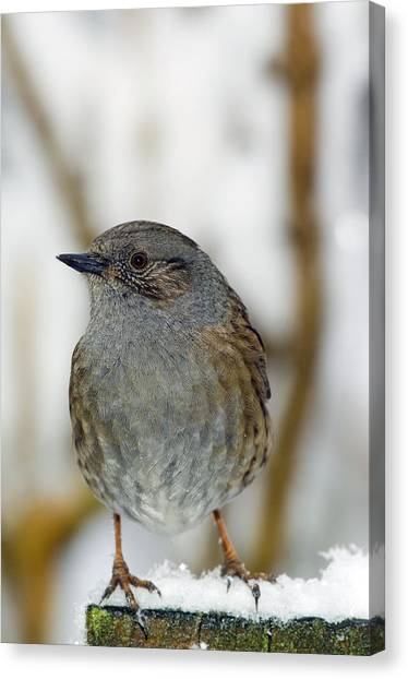 Dunnock Perched On A Garden Fence Canvas Print by Duncan Shaw