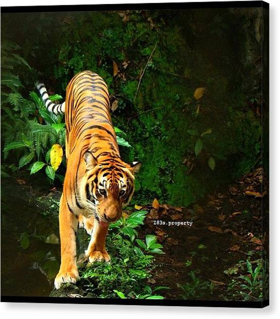 Tigers Canvas Print - During #philippine #vacation In by Zyrus Zarate