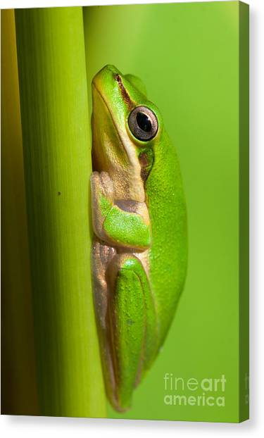 Dwarf Tree Frog Canvas Print by Johan Larson