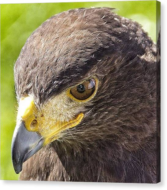 Vultures Canvas Print - Eagle Eyed ...falconry @templenewsam by Carl Milner