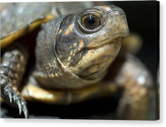 Box Turtles Canvas Print - Eastern Box Turtle by Georgette Douwma