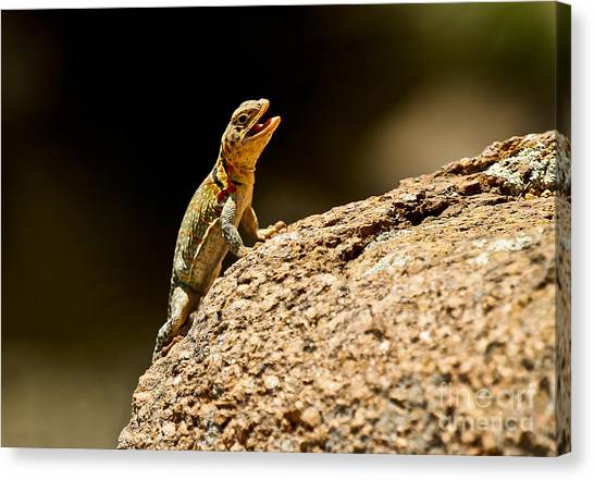 Red Camo Canvas Print - Eastern Collared Lizard In Camo by Royce  Gideon