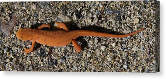 Newts Canvas Print - Eastern Newt by Brendan Reals
