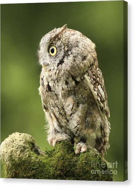 Mossy Forest Canvas Print - Eastern Screech Owl On A Green Moss Rock by Inspired Nature Photography Fine Art Photography