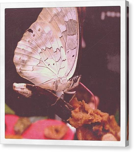 Tongue Canvas Print - Eating Butterfly by Beth Green