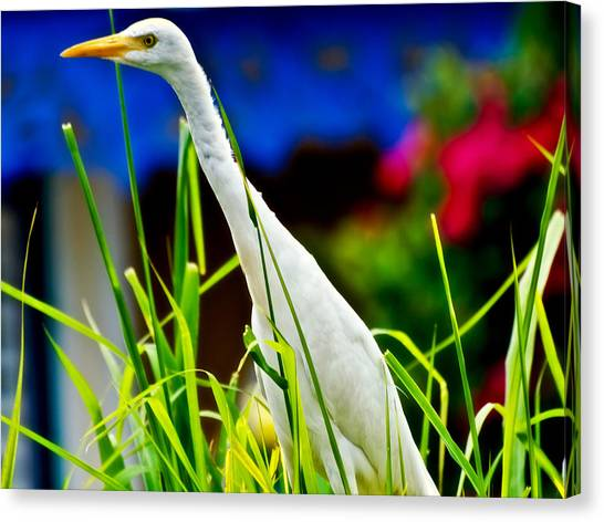 Egret In Grass Canvas Print