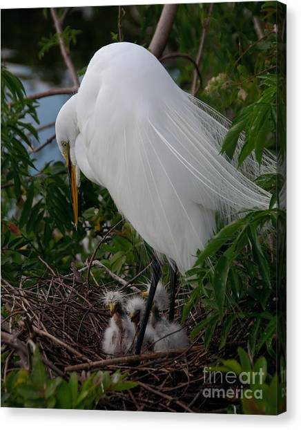 Egret With Chicks Canvas Print
