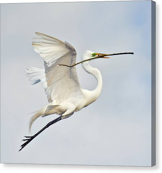Egret With Nesting Material Canvas Print by Howard Knauer