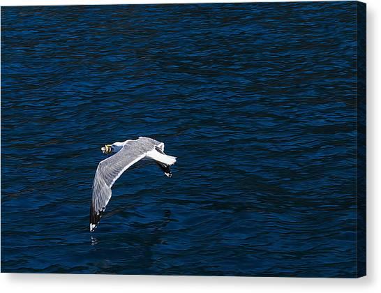Elba Island - Flying For Food - Ph Enrico Pelos Canvas Print